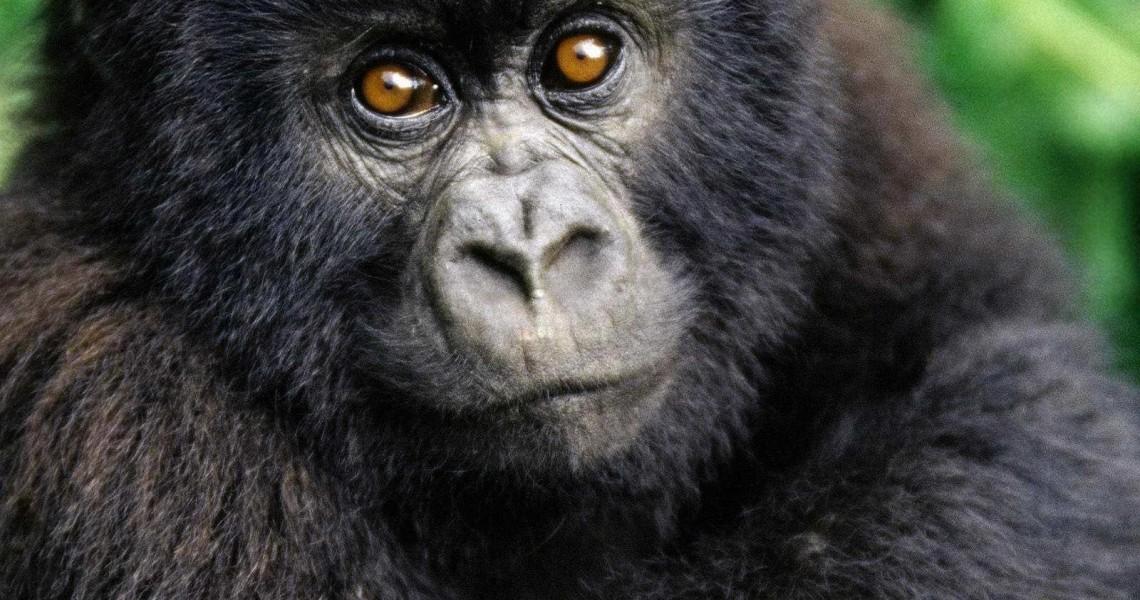 animali-scimmie1034