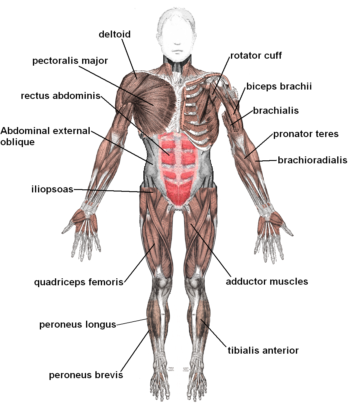 muscles_anterior_labeled